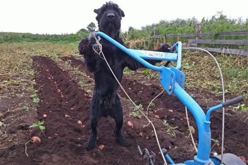 Chó biết xới đất, làm vườn như người