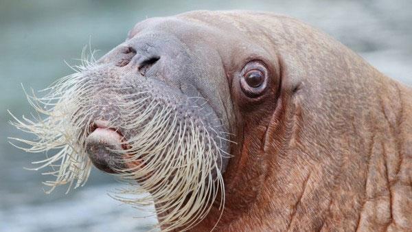 Hải mã di cư ồ ạt từ Bắc Cực sang Mỹ