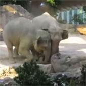Video: Voi bố mẹ giải cứu cho voi con