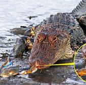 """Cá sấu """"bất lực"""" trước chú cua nhỏ bé"""