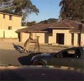 Video: Chuột túi đánh nhau trên phố