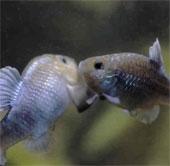 Một số loài cá sống ở nơi khắc nghiệt nhất trên trái đất