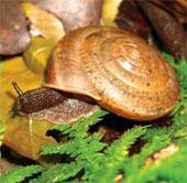 Phát hiện loài ốc sên mới ở Đài Loan