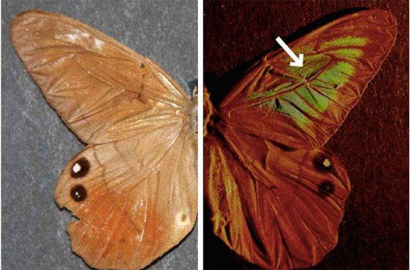 Vật liệu mới chống làm giả lấy ý tưởng từ cánh bướm