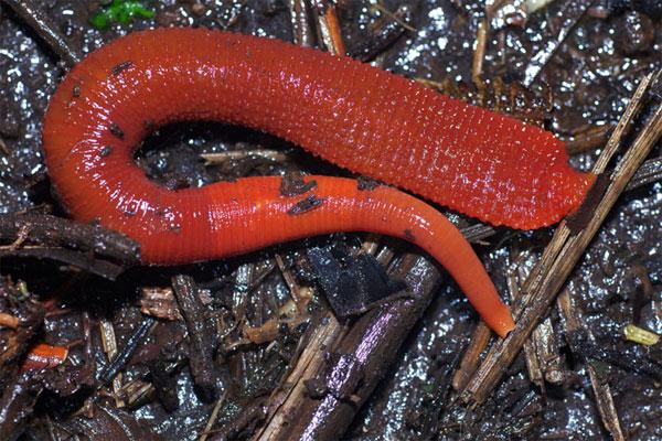 Tìm hiểu loài đỉa đỏ khổng lồ mới phát hiện ở Indonesia