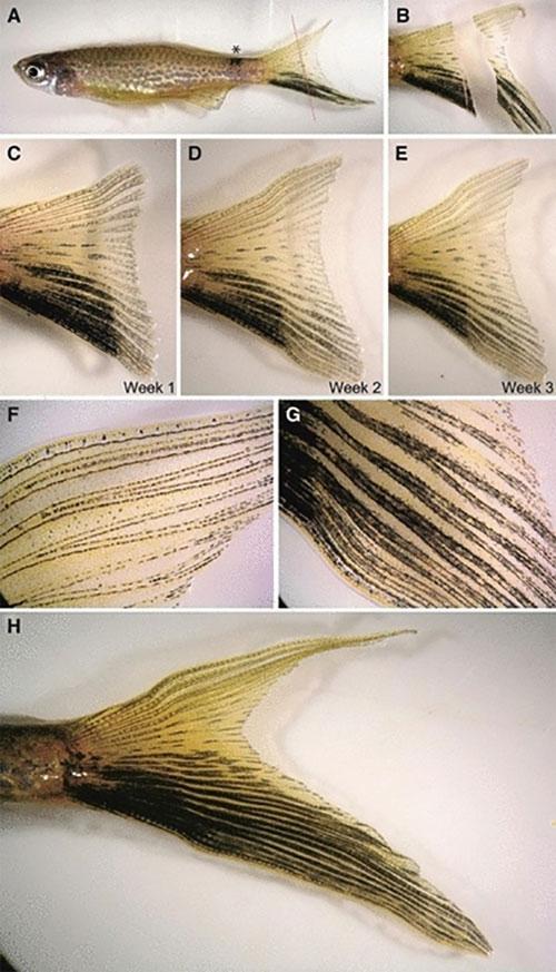 Một số động vật có thể mọc lại bộ phận trên cơ thể khi bị đứt