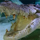9,26m là chiều dài tối đa của tổ tiên cá sấu ngày nay