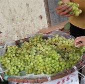 Nguồn gốc của nho xanh giá rẻ tại Hà Nội