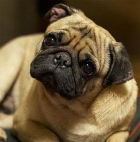 Vì sao chó thường nghiêng tai khi nghe con người nói?