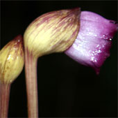 Tai đất Aeginetia - Loài thực vật chuyên đi ăn bám