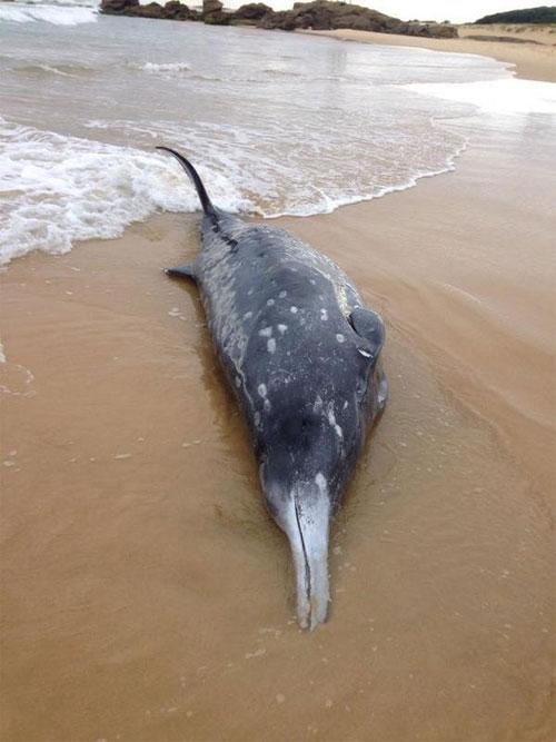 Cá voi có mỏ quý hiếm trôi dạt vào bờ biển Australia