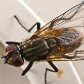 Nghiên cứu về ruồi mở đường cho cách chữa bệnh mới ở người