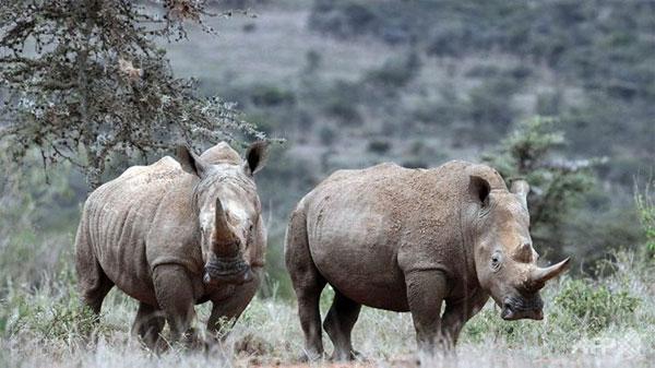Tê giác trắng có nguy cơ tuyệt chủng cao