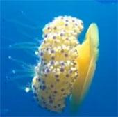 Video: Quay được loài sứa trứng rán hiếm gặp