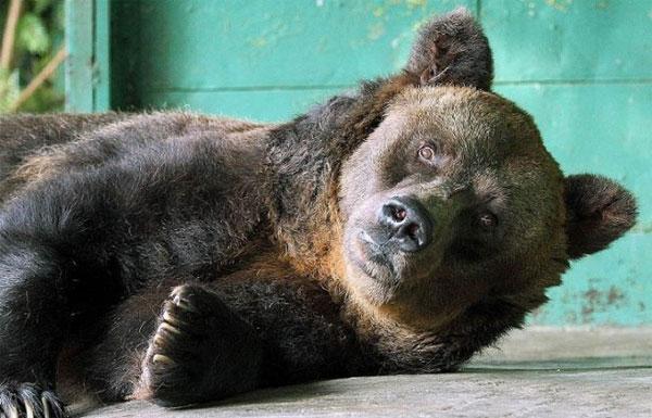 Chú gấu nâu sống lâu nhất thế giới chết ở tuổi 35