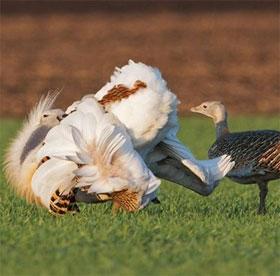 """Kỳ lạ loài chim ăn bọ kịch độc để làm sạch """"bộ hạ"""" hút bạn tình"""
