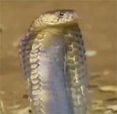 Video: Thế giới của những loài rắn độc trong tự nhiên
