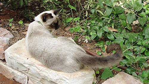 Tư thế đuôi tiết lộ tâm trạng của mèo