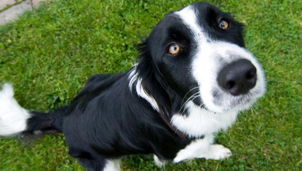 Chó có khả năng phát hiện ung thư