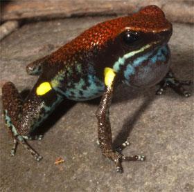 """Phát hiện thú vị: Màu sắc sặc sỡ giúp ếch """"tự tin"""" kêu to hơn"""
