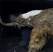 Trưng bày xác voi ma mút nguyên vẹn