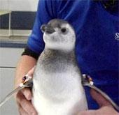 Chim cánh cụt chào đời nhờ thụ tinh trong ống nghiệm