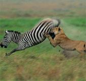 Video: Ngựa vằn tung cước đá lật hàm sư tử