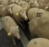 """Video: 2.000 con cừu """"di cư"""" qua đường phố Tây Ban Nha"""