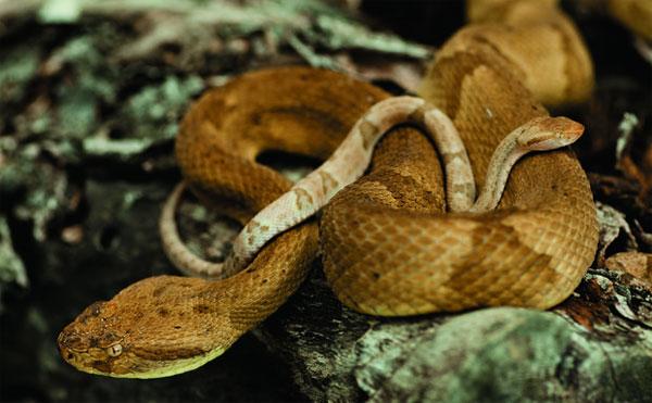 Loài rắn này sống ở đảo Ilha de Queimada