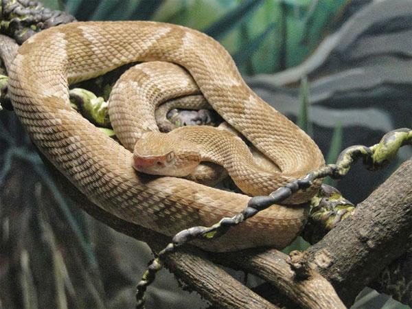 Trên đảo rắn, cứ 1m2 có tới 5 con rắn hổ lục đầu giáo