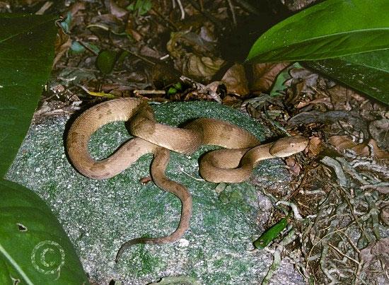 Các con rắn đã tiến hóa để có nọc độc cực mạnh
