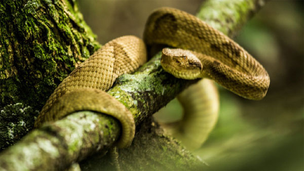 Loài rắn này gây ra 90% các trường hợp tử vong liên quan đến rắn cắn ở Brazil.