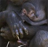 Khỉ đột sơ sinh trong vòng tay mẹ