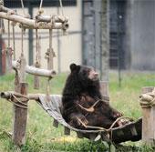 Khánh thành bốn khu chăm sóc gấu bán tự nhiên