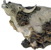 Xác bò rừng nguyên vẹn chôn vùi 10.000 năm