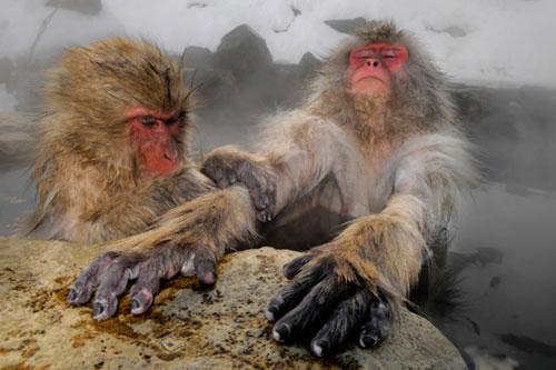 Ảnh đẹp: Khỉ tuyết ngâm mình trong hồ nước nóng