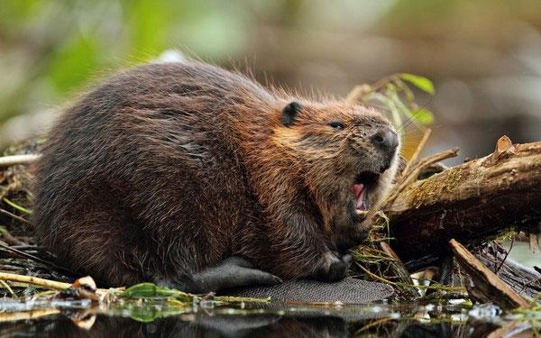 Những loài vật hoang dã tự tỏa mùi thơm giống hệt Hàm Hương