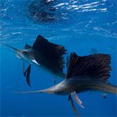 Quái vật ăn thịt mõm kiếm dài, sắc nhọn săn mồi nhanh kỷ lục đại dương