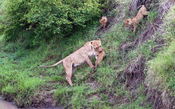 Sư tử mẹ dạy con nhảy qua sông