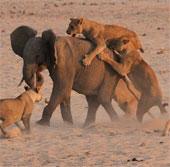 Kinh ngạc cảnh voi đơn độc đại thắng 14 con sư tử đói