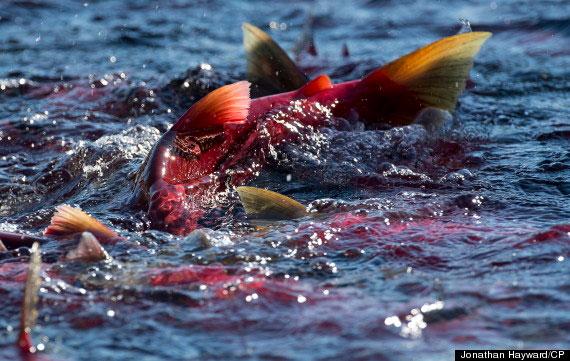 Cuộc di cư ngoạn mục của cá hồi đỏ ở Canada