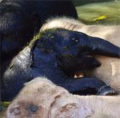 """Chú voi đen """"lạc đàn"""" thân thiết với bầy voi trắng"""
