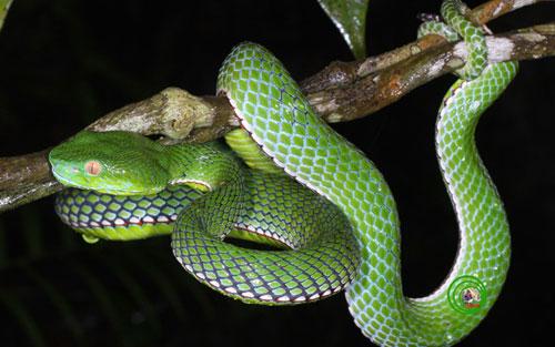 Mơ thấy rắn xanh có ý nghĩa gì?