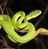 Làm thế nào khi bị rắn lục đuôi đỏ tấn công?