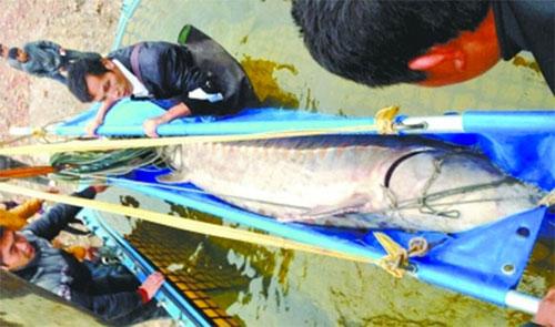 Bắt được cá tầm khổng lồ ở Trung Quốc