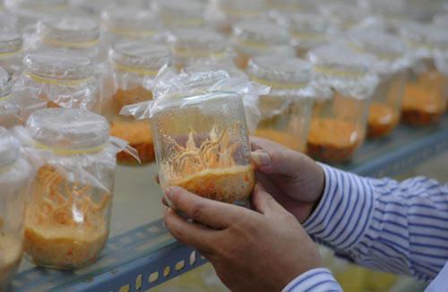 Cận cảnh đông trùng hạ thảo 7 triệu đồng/kg của Việt Nam