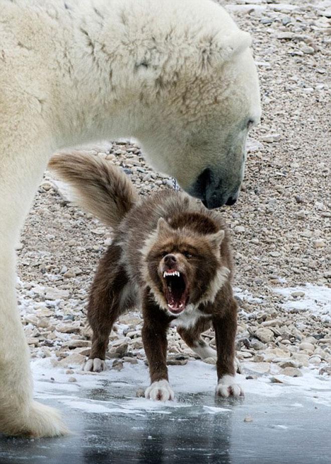 Chó nhe nanh dọa nạt gấu Bắc Cực