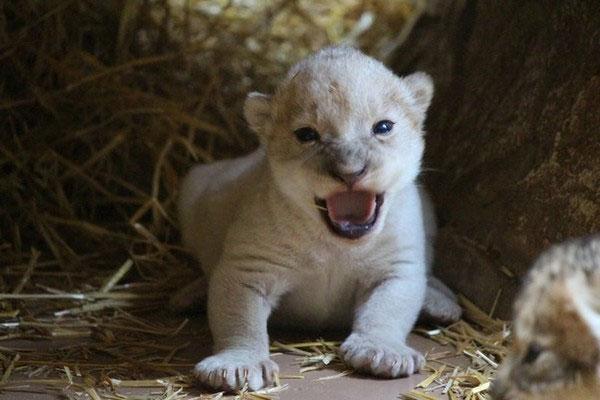 Sư tử trắng hiếm chào đời ở vườn thú Mỹ