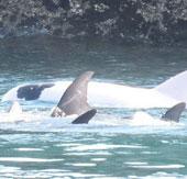 Cá heo bạch tạng giá nửa triệu đô bị bắt ở Nhật Bản