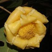Phát hiện bốn loài hoa trà mới ở Việt Nam